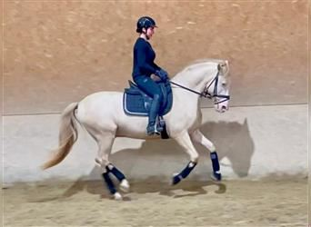 Andalusian, Gelding, 14 years, 15 hh, Perlino
