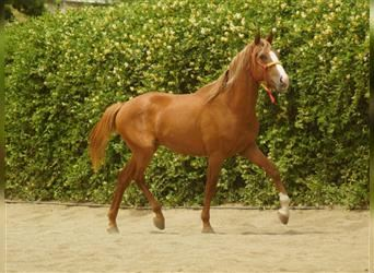 Andalusian, Stallion, 2 years, 15.1 hh, Chestnut-Red