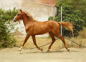 Andalusier, Hengst, 2 Jahre, 155 cm, Fuchs
