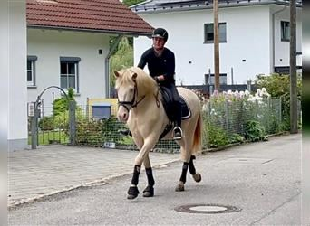 Andalusier, Wallach, 14 Jahre, 153 cm, Perlino
