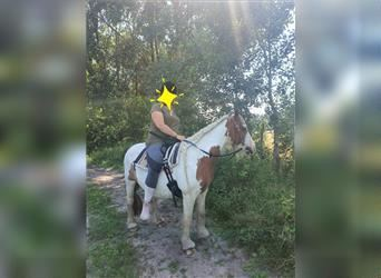 Gypsy Horse, Mare, 13 years, 13 hh, Pinto