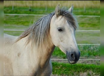 Welsh D (Cob) Mix, Mare, 11 years, 14.2 hh, Palomino