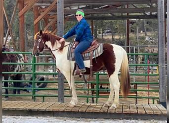 Spotted Saddle Horse, Hongre, 7 Ans, 147 cm, Pinto