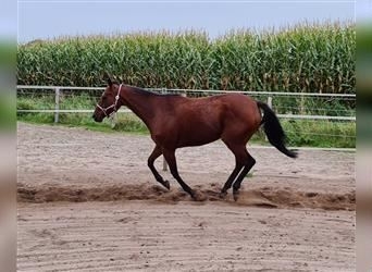 English Thoroughbred, Mare, 12 years, 15.3 hh, Brown