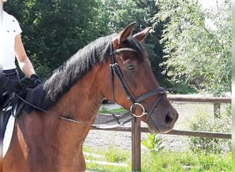 Hanoverian, Mare, 7 years, 16 hh, Brown