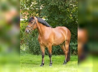 More ponies/small horses, Gelding, 4 years, 15 hh, Brown