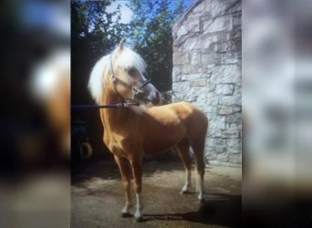 Welsh A (Mountain Pony), Gelding, 5 years, 12 hh, Palomino