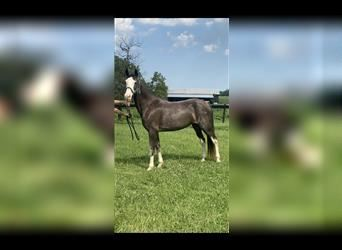 Kentucky Mountain Saddle Horse, Mare, 6 years, 15 hh, Roan-Blue