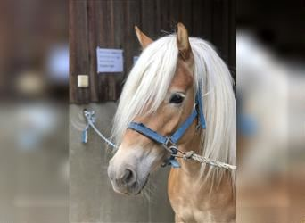 Haflinger, Mare, 4 years, 14.3 hh