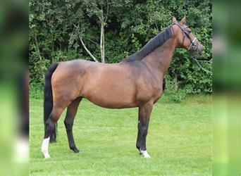 Oldenburg, Mare, Foal (06/2021), 16.1 hh