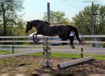 Other Thoroughbreds, Mare, 4 years, 16 hh, Roan-Bay