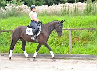 Other Warmbloods, Mare, 6 years, 16 hh, Brown