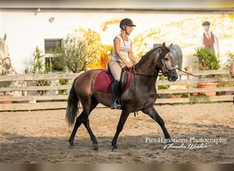 P.R.E., Gelding, 4 years, 15.1 hh, Gray-Red-Tan
