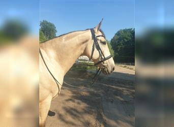 Andalusier Mix, Wallach, 7 Jahre, 160 cm, Falbe