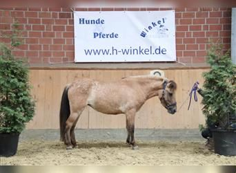 Fjord Horses Mix, Mare, 5 years, 12.1 hh, Dun