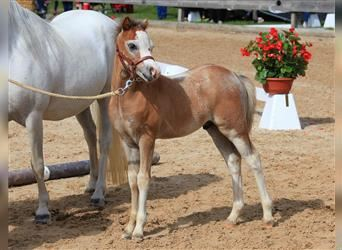 Welsh A (Mountain Pony), Stallion, Foal (05/2021), 11.1 hh, Gray