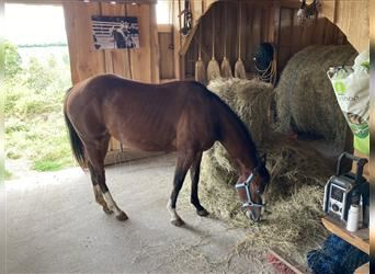 Paint Horse, Mare, 2 years, 14.3 hh, Tobiano-all-colors