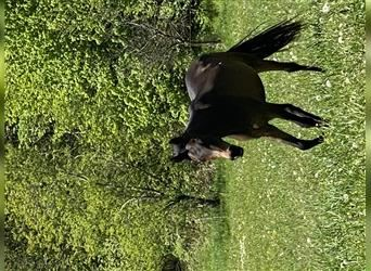 Straight Egyptian, Mare, 3 years, 15.1 hh, Brown