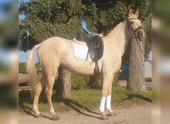 Andalusian Mix, Mare, 6 years, 15.1 hh