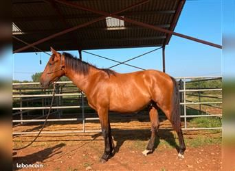 Andalusian, Stallion, 2 years, 14.1 hh, Brown