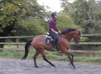 Other Thoroughbreds Mix, Mare, 4 years, 16.1 hh, Brown