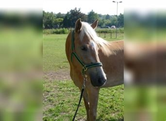 Haflinger, Mare, 3 years, 15 hh