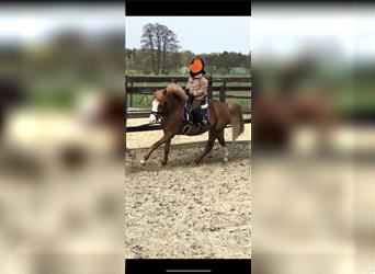 Welsh C (of Cob Type) Mix, Mare, 8 years, 12.1 hh, Chestnut-Red