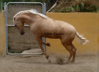 Andalusier, Hengst, 3 Jahre, 161 cm, Palomino