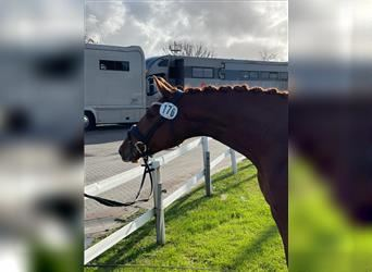 Hanoverian, Mare, 4 years, 16.1 hh, Chestnut-Red