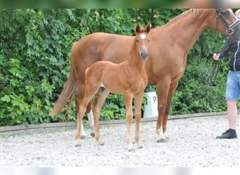 Hanoverian, Mare, Foal (05/2021), Chestnut-Red
