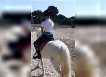 Welsh B, Mare, 12 years, 12 hh, White