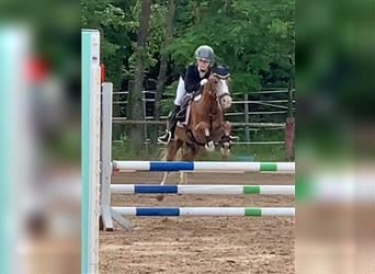 Welsh B, Mare, 6 years, 13.1 hh, Chestnut