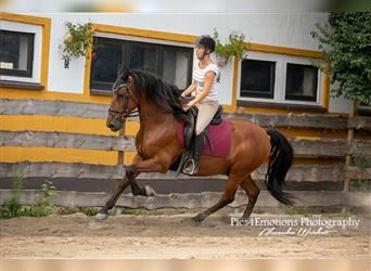 Andalusian, Gelding, 8 years, 15.2 hh, Brown