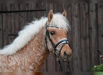 Curly Horse, Hengst, 3 Jahre, 147 cm, Palomino