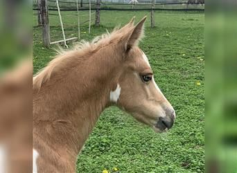American Indian Horse, Stallion, Foal (04/2021), 14.2 hh, Palomino