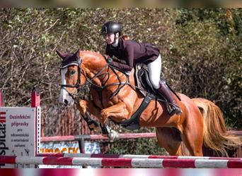 Slovak Warmblood, Mare, 6 years, 15.3 hh, Chestnut-Red