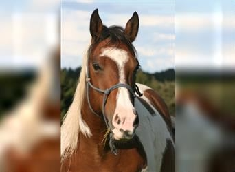 Mustang (canadian), Mare, 15 years, 15 hh, Pinto