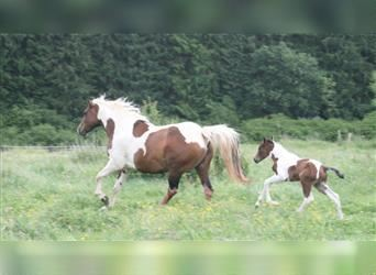 Mustang (canadien), Jument, 15 Ans, 154 cm, Pinto