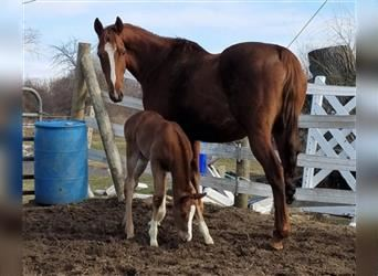 Other Thoroughbreds, Mare, 10 years, 16 hh, Chestnut