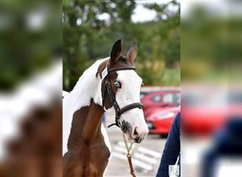 Selle Français, Stallion, 4 years, 16.2 hh, Tobiano-all-colors