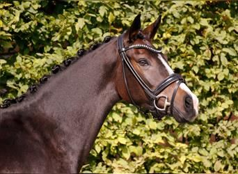 German Riding Pony, Mare, 4 years, 15.1 hh, Brown