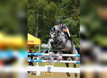German Sport Horse, Mare, 5 years, 16.1 hh, Gray