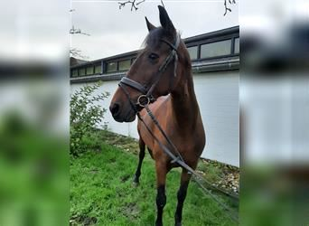Other Thoroughbreds, Mare, 8 years, 15.2 hh, Brown