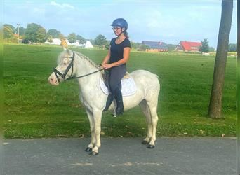 Welsh A (Mountain Pony) Mix, Mare, 9 years, 12.2 hh, Gray