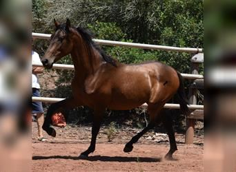Andalusian, Stallion, 2 years, 15.3 hh, Brown