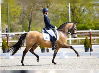 New forest pony, Castrone, 12 Anni, 145 cm