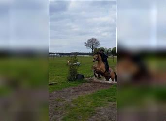 New Forest Pony, Gelding, 12 years, 14.1 hh