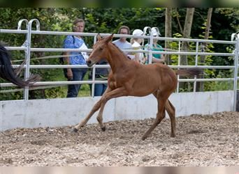 Trakehner, Mare, Foal (06/2021), 16 hh, Brown