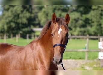 KWPN, Mare, 2 years, 16.1 hh, Chestnut
