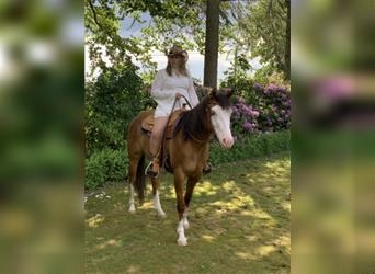 Quarter Horse, Mare, 6 years, 14.3 hh, Red Dun